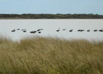 Black swans on Coorong lake