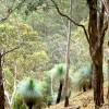Ferntrees, Yarras Plateau NSW