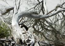 Twisted trunks, Coorong SA