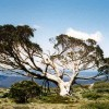Snow Gum, Snowy Mountains, NSW