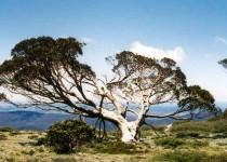 Snow Gum, Snowy Mountains, NSW