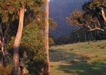 Sunset on Mountain Gums VIC