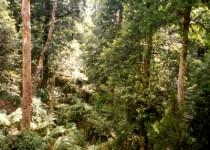Upper Manning Forest, NSW